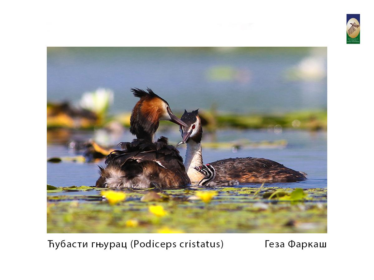Ћубасти гњурац ( cristatus) Геза Фаркаш