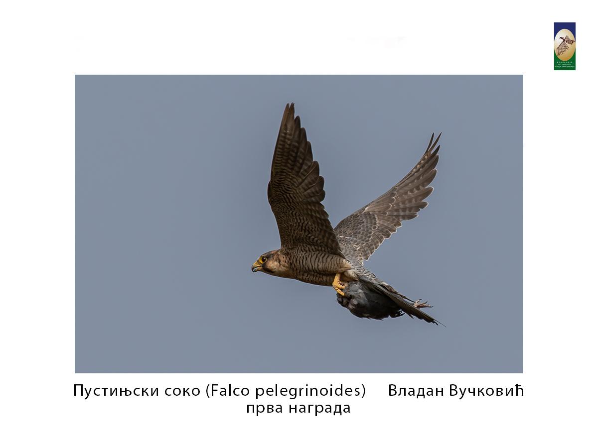 Пустињски соко ( Falco pelegrinoides) Владан Вучковић прва награда