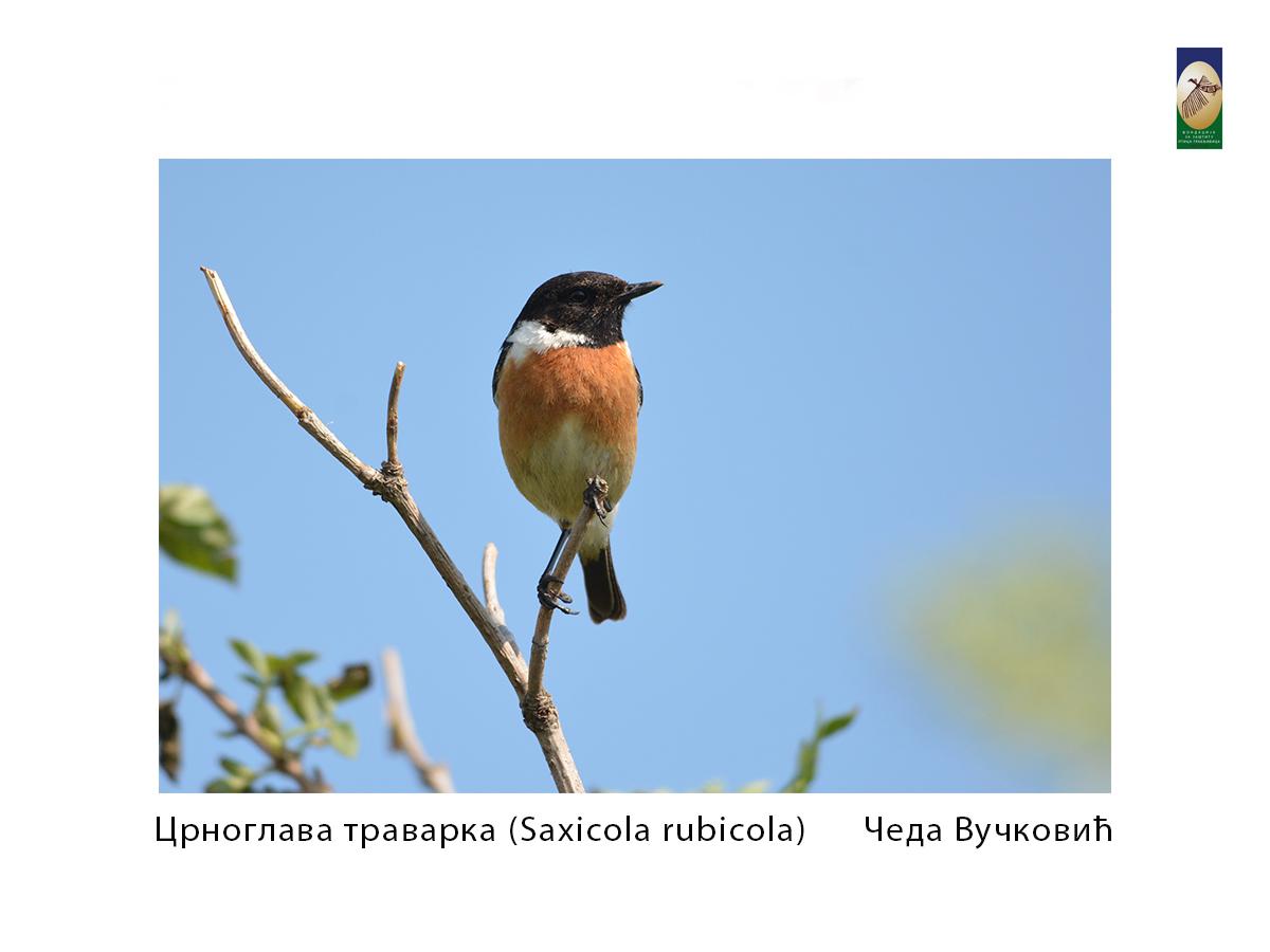 Црноглава траварка ( Saxicola rubicola) Чеда Вучковић