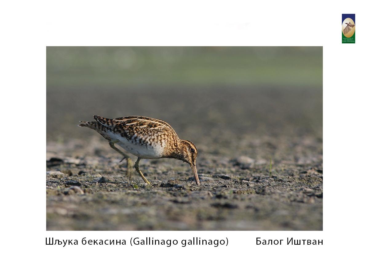 Шљука бекасина( Gallinago gallinago) Балог Иштван