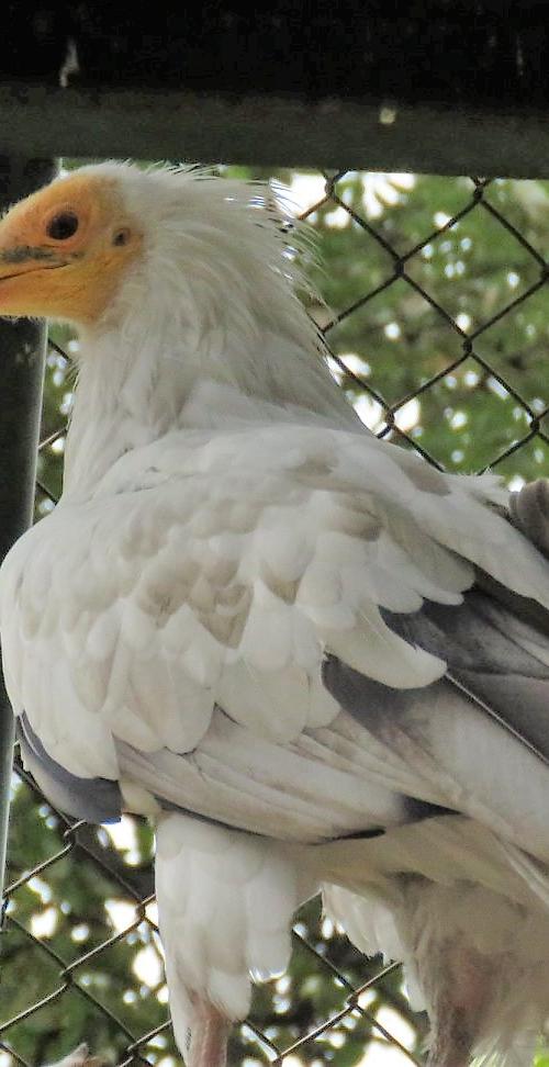 Bela kanja, Neophron percnopterus