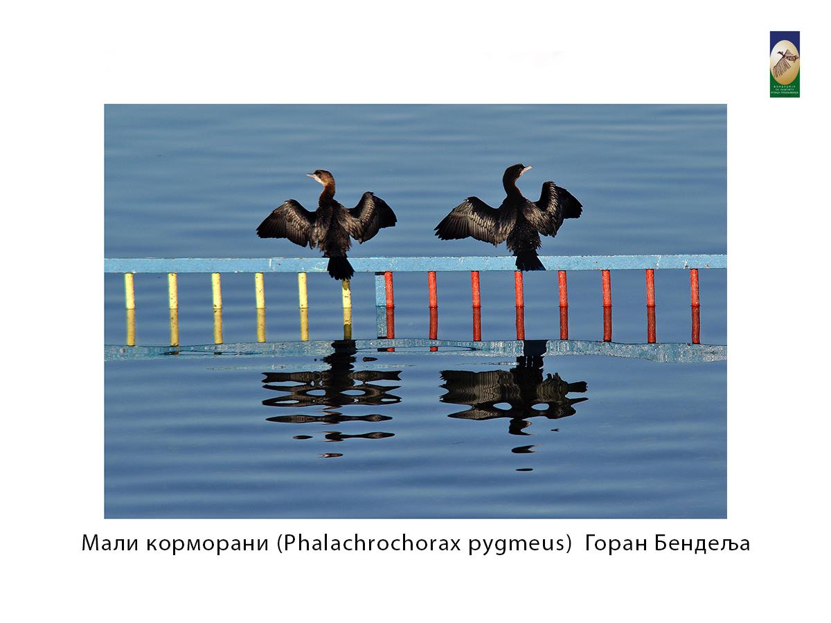 Мали корморани (Phalachrochorax pygmeus) Горан Бендељ
