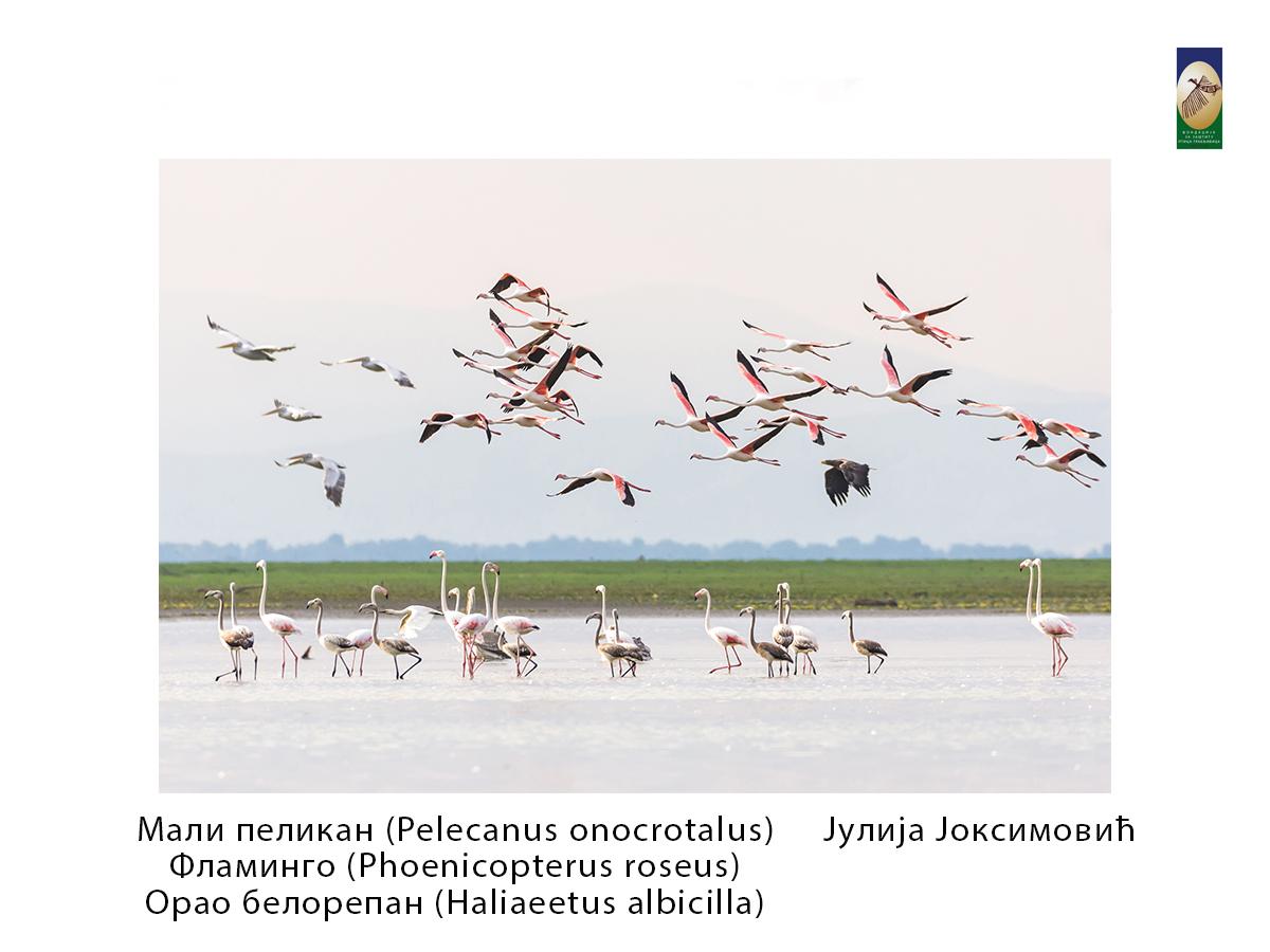 Мали пеликан,  Јулија Јоксимовић