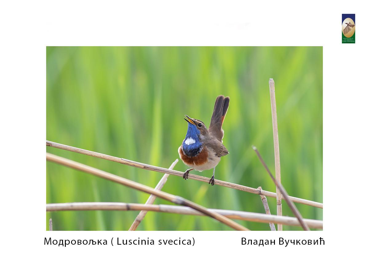 Модровољка ( Luscinia svecica) Владан Вучковић