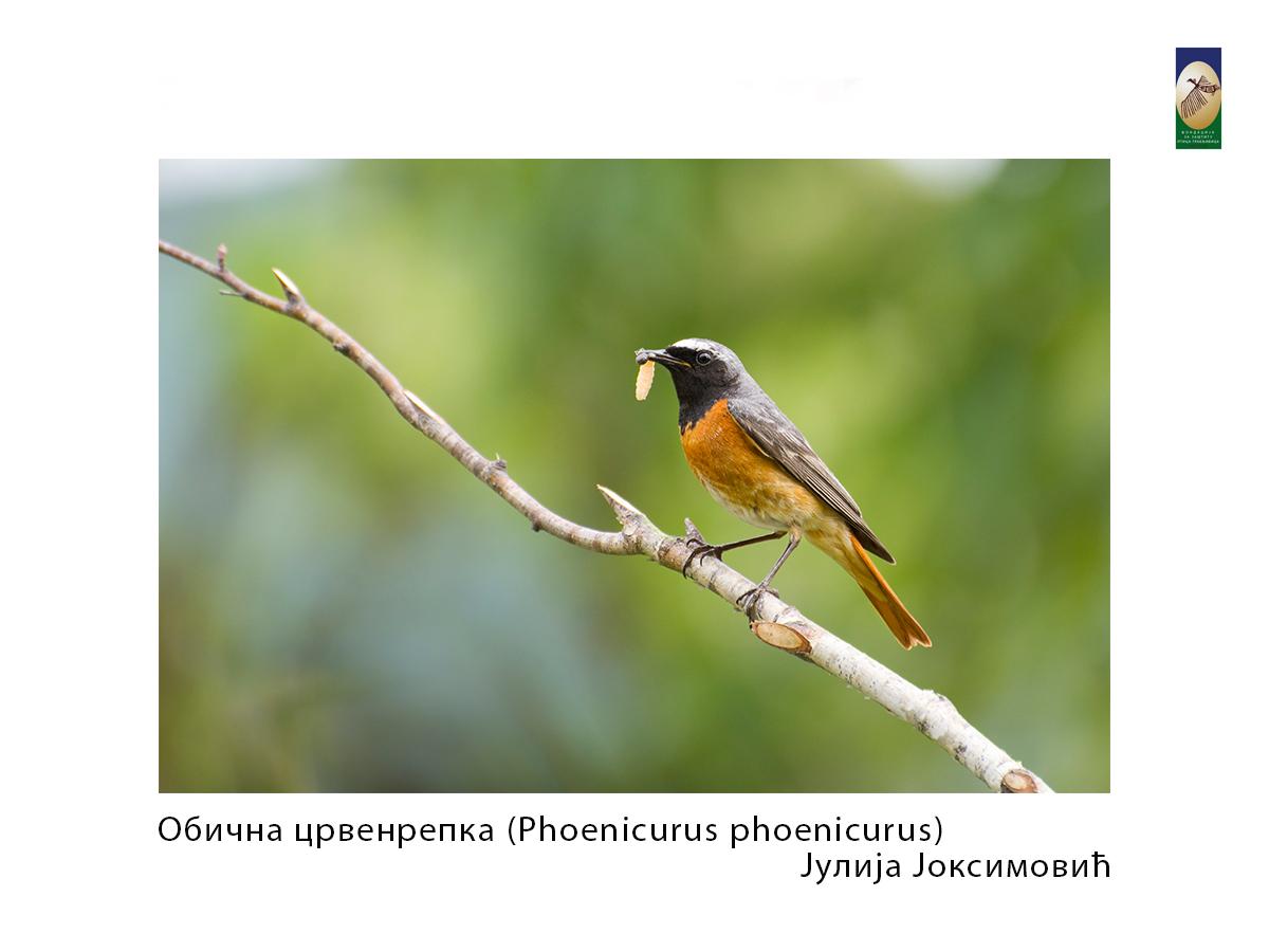 Обична црвенрепка (Phoenicurus phoenicurus) Јулија Јоксимовић
