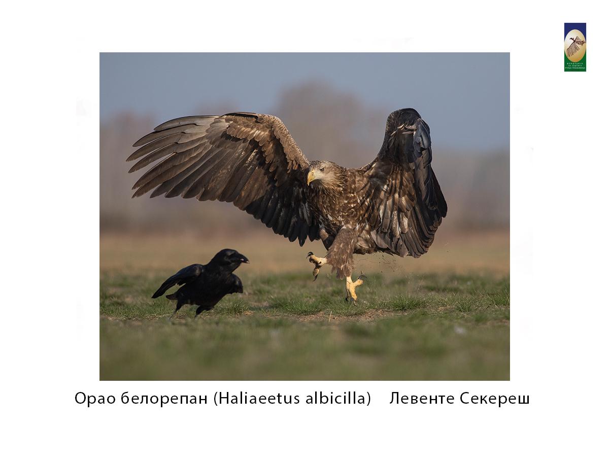 Орао белорепан ( Haliaeetus albicilla) Левенте Сзекереs