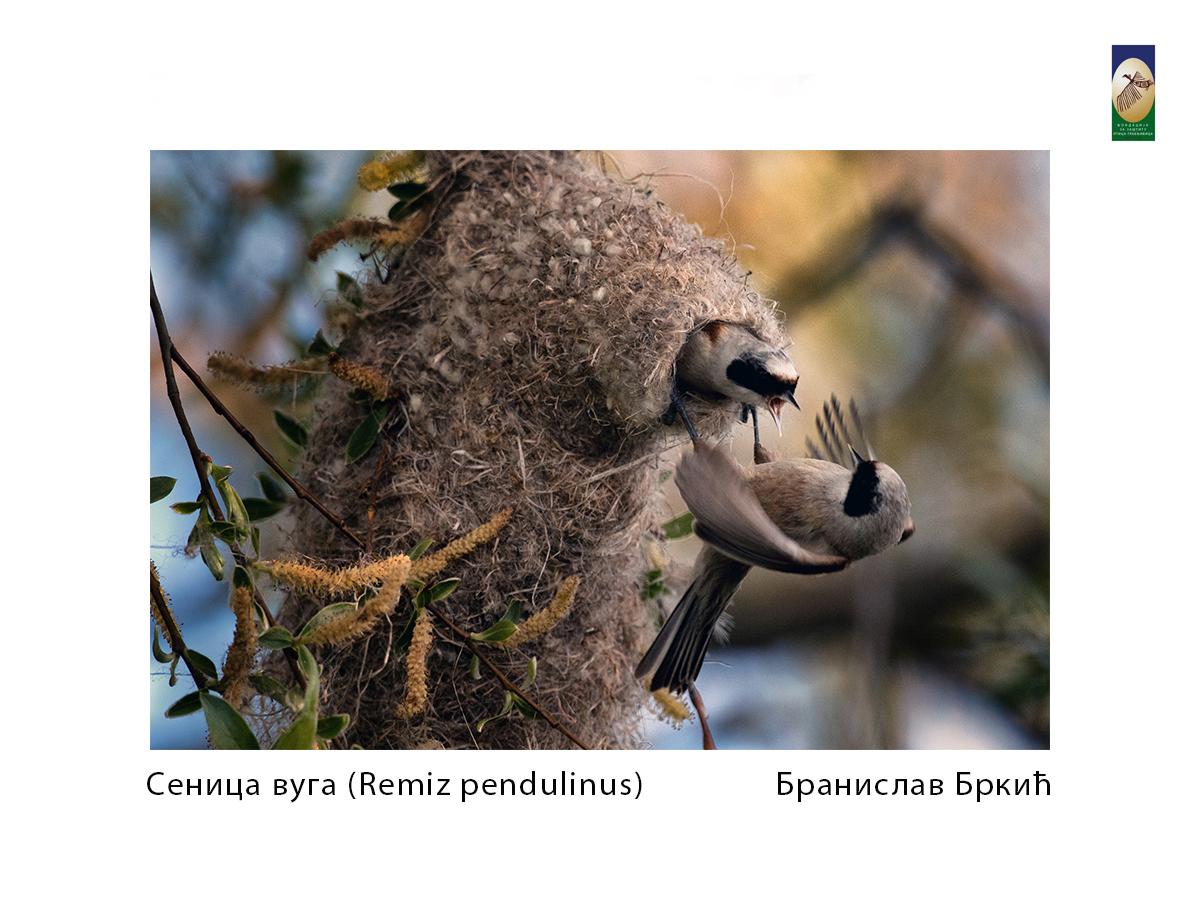 Сеница вуга( Remiz pendulinus) Бранислав Бркић