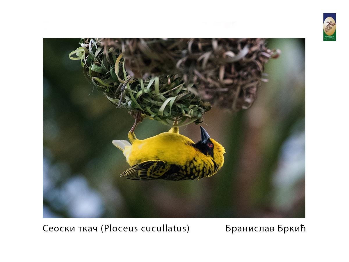 Сеоски ткач (Ploceus cucullatus) Бранислав Бркић