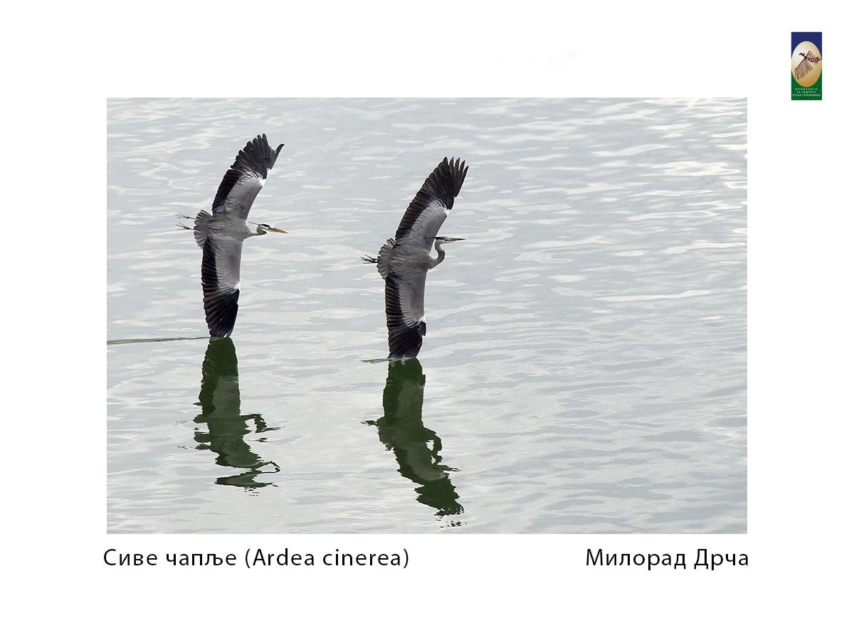 Сиве чапље (Ardea cinerea) Милорад Дрча