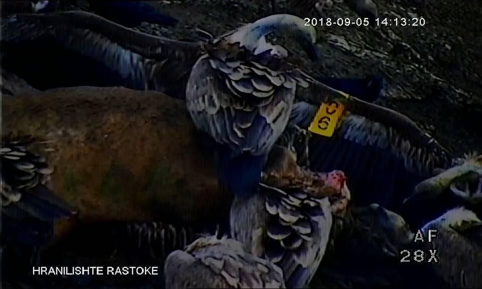 "17.09.2018. ""Marija mts"" na hranilištu zabeležena uz pomoć video nadzora. / 17.09.2018. ""Marija mts"" on feeding place recorded by the video surveillance."